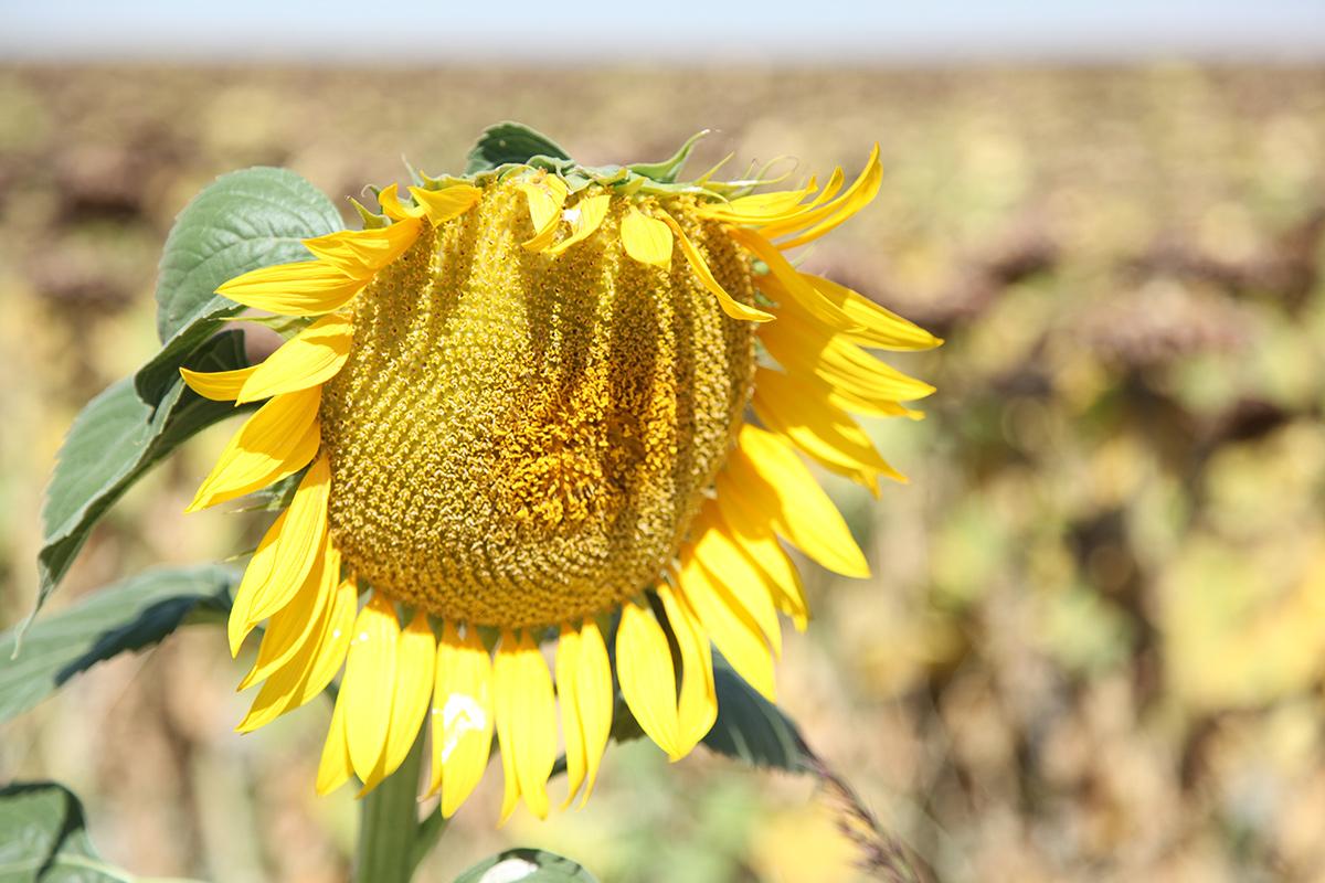Mähdrescher  mit der Spirale für Sonnenblumen